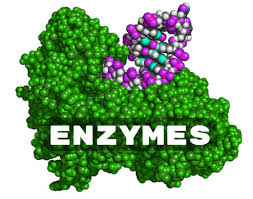 Reduced Enzyme Activity is associated with Augmentin and Alcohol Intake